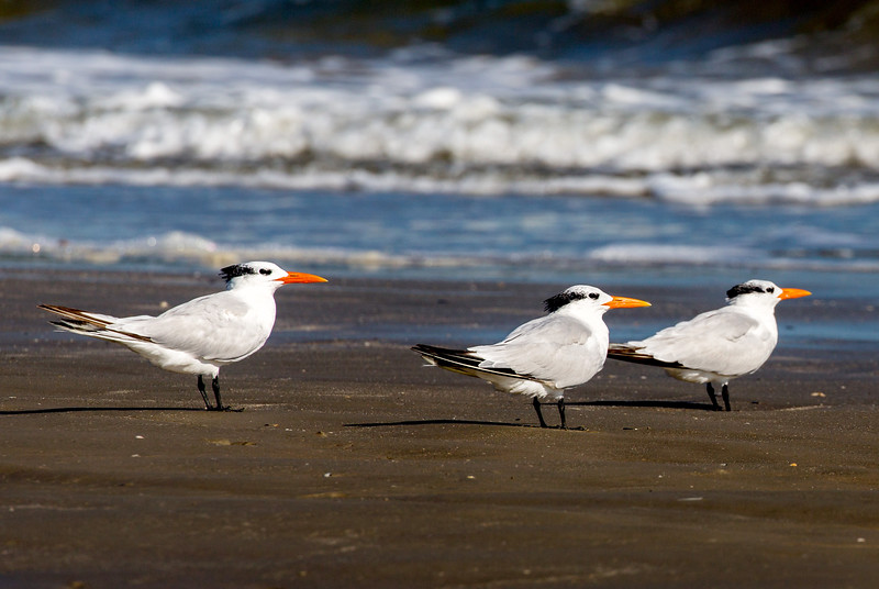A trio of Royal Terns