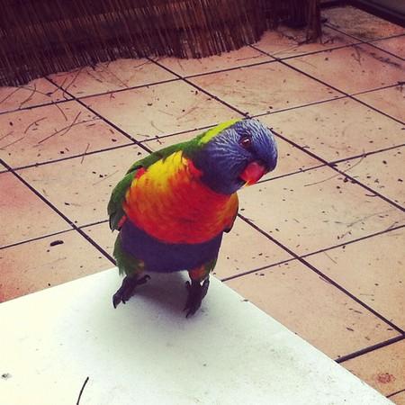 20120610 Rainbow Lorikeet