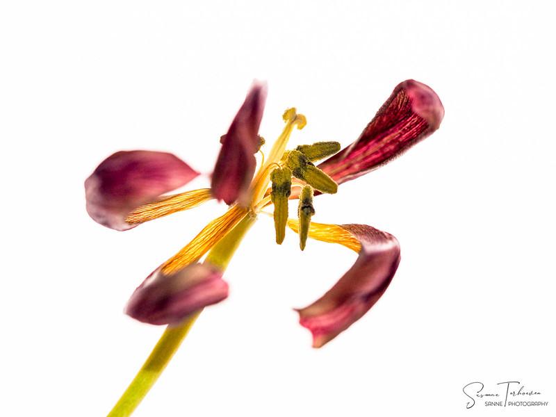 Tulpen-3130628.jpg