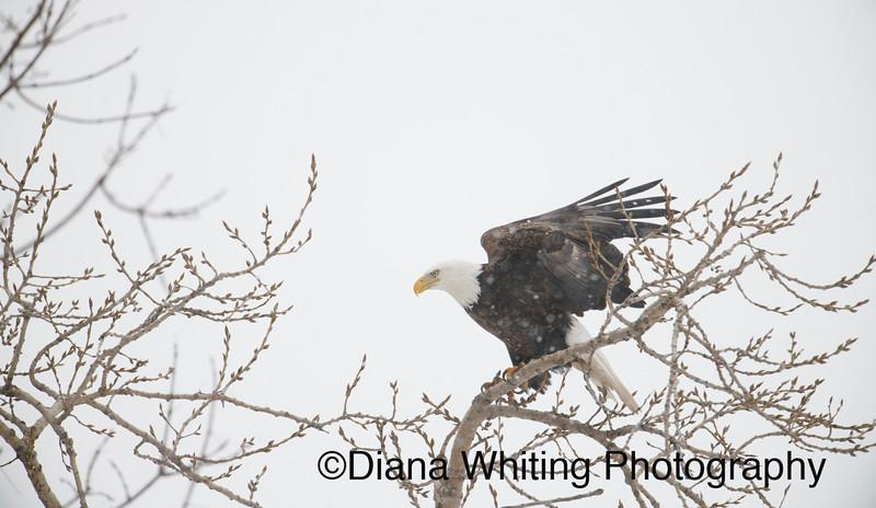 03_02_2019bald eagles_254 copy.jpg