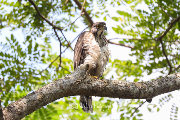 2020-01-28 Goshawk at Pasir Ris Park