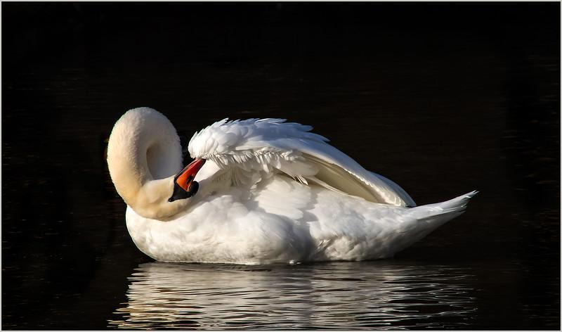 114.Joyce Burzloff.1.Swan Preening.jpg
