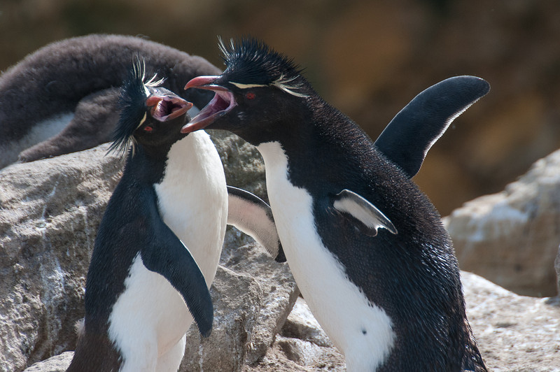 Rockhopper penguin in New Island, Falkland Islands