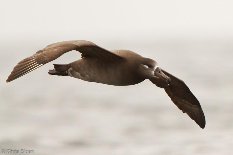 Black-footed Albatross at pelagic out of Bodega Bay, CA (10-15-2011) - 671.jpg