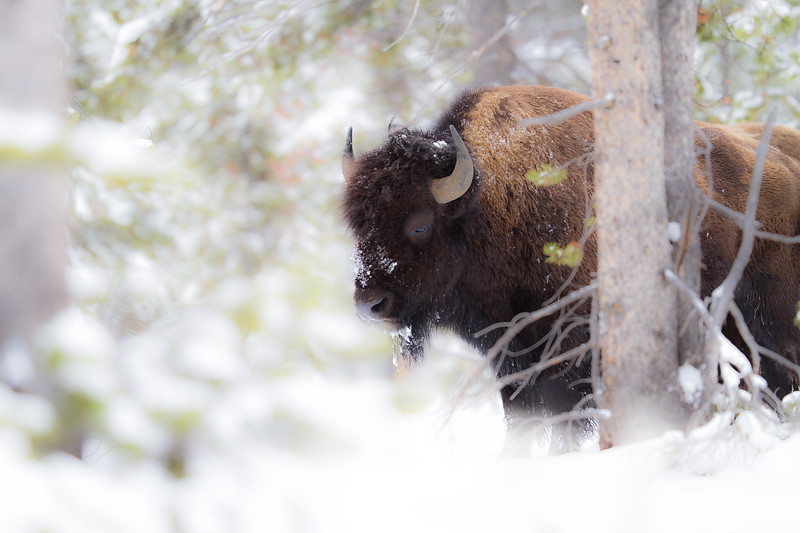 Bison in snow Yellowstone National Park WY IMG_0230.jpg
