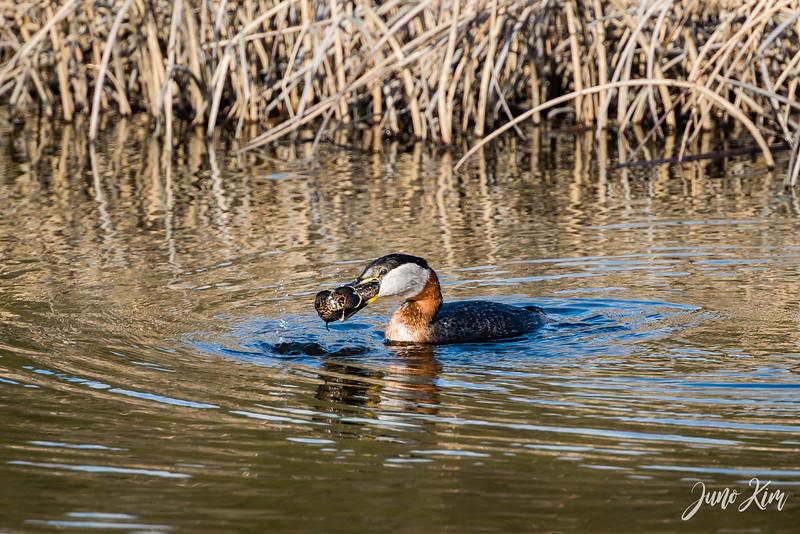 2020-05-12_Potter Marsh bird-_6109368-2-Juno Kim.jpg