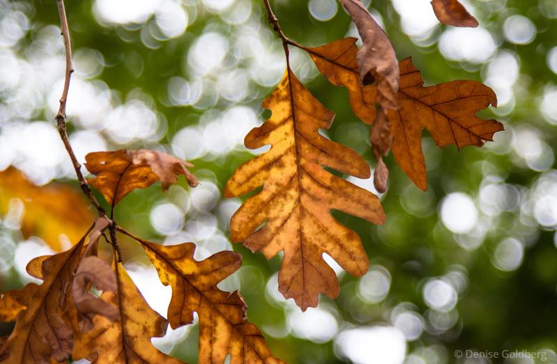 rusty oak leaves in late day light