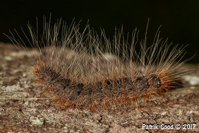 Processionary Caterpillar Moth