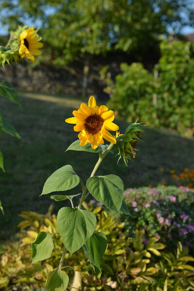 Sunflower Lonay_20092020 (12).JPG
