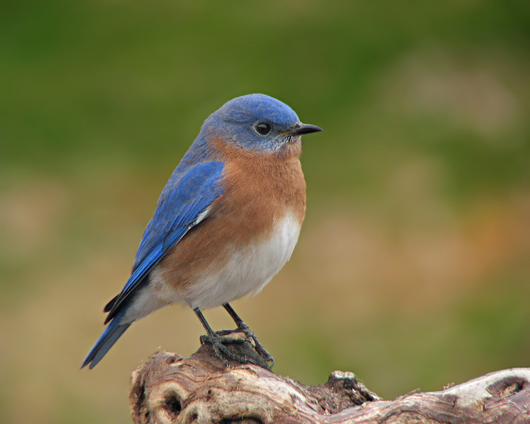 bluebird_1562.jpg
