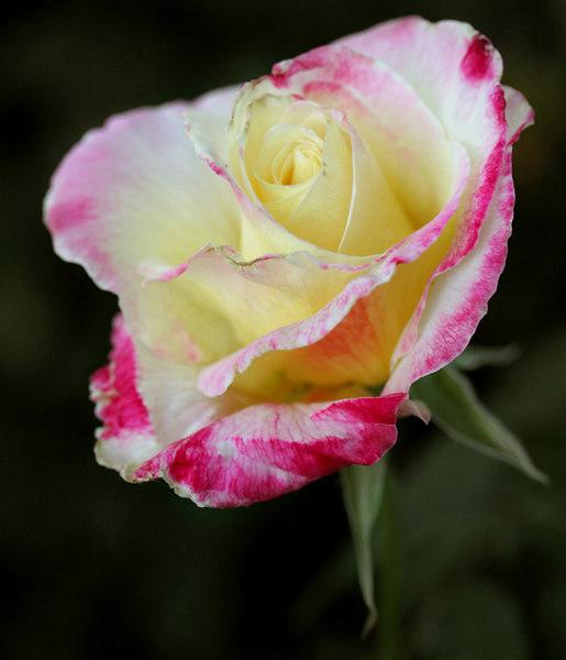puu's rose3.jpg