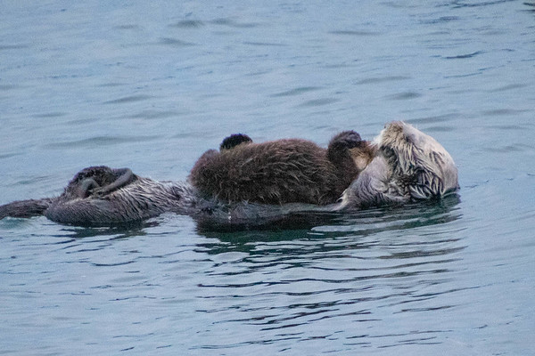 Sea Otters November 2018