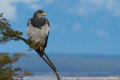 Black-chested Buzzard-Eagle, Águila (Geranoaetus melanoleucus)