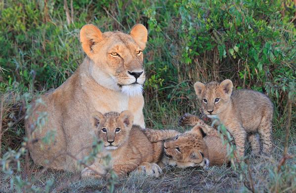 Lion Fest Mara Reserve Kenya 2011