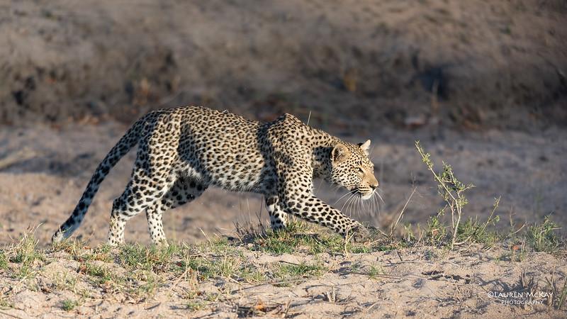 Leopard (Tiyane), Sabi Sands (EP), SA, Oct 2016-3.jpg