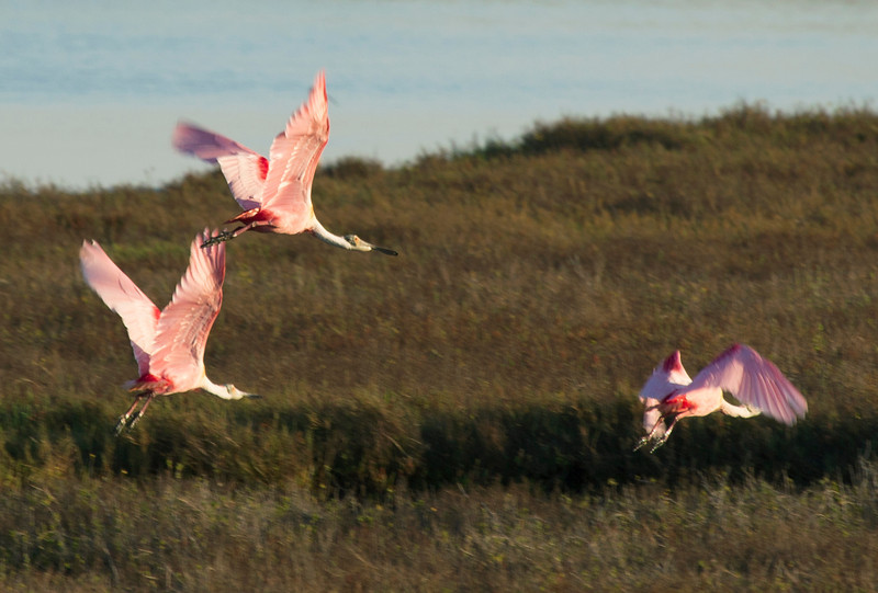 Three roseate spoonbills take flight in the morning light.
