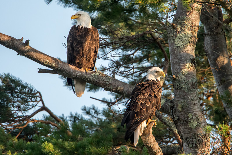 #620 Bald Eagles