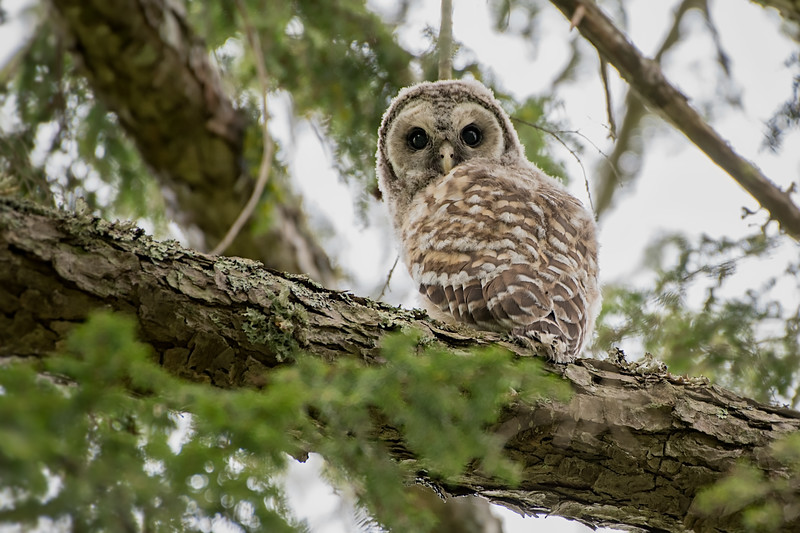 #971 Barred Owlet