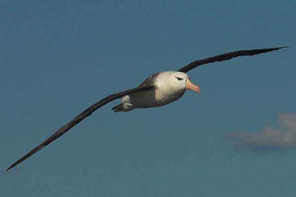 Pelagics & Shorebirds
