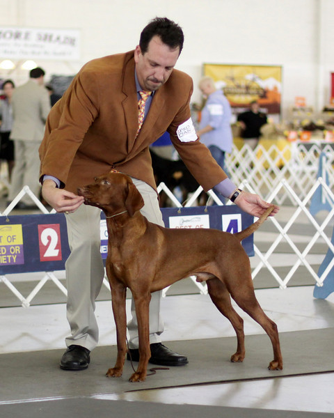 2010 Dallas Dog Show - Vizsla