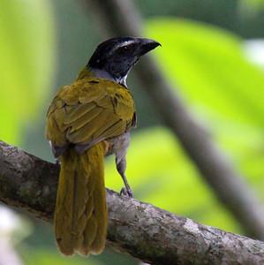 Black-headed Saltator