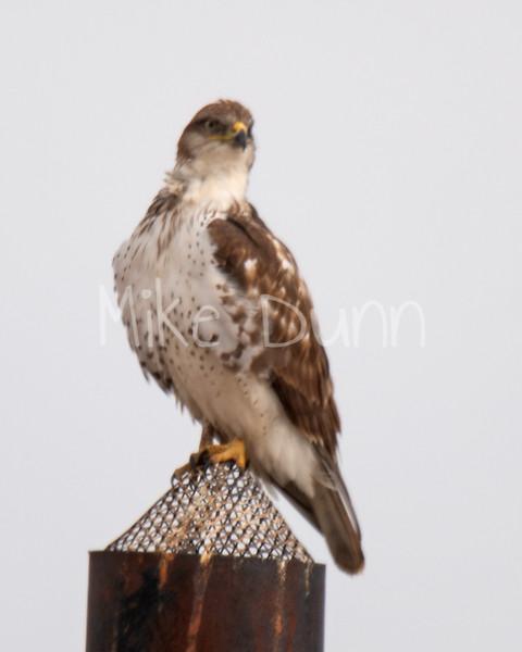 Ferruginous Hawk-62