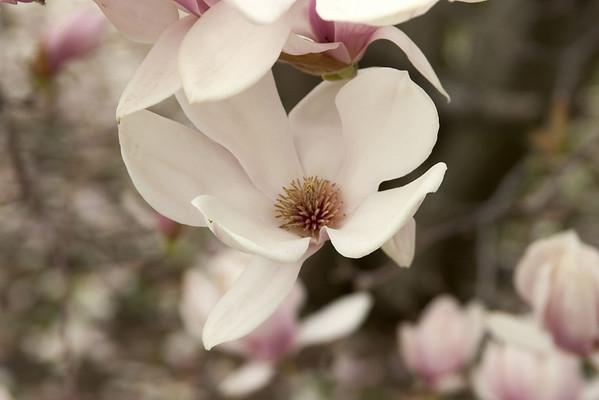 Magnolias plus