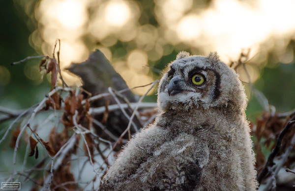 Great Horned Owlet (2015)