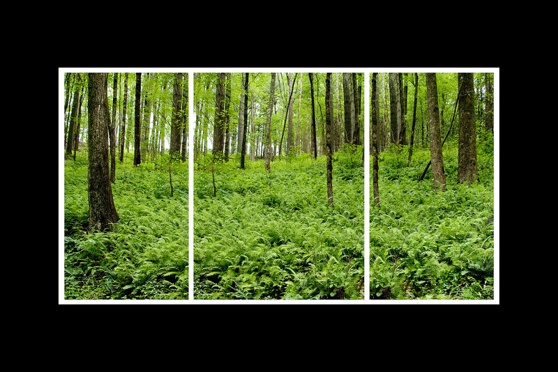 forest ferns triptych.jpg