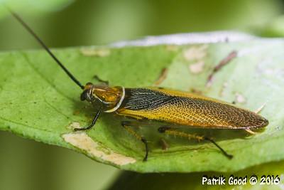 Yellow Bush Cockroach