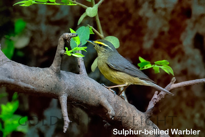 Sulphur-bellied Warbler, Ranthambhore, India