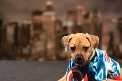. Captain America pup.
