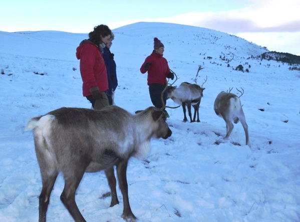 Feeding reindeer on a Cairngorm reindeer adventure in Scotland.