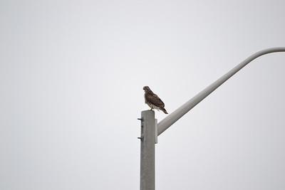 Hawk Hunting 2013