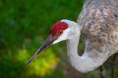 Storks & Cranes