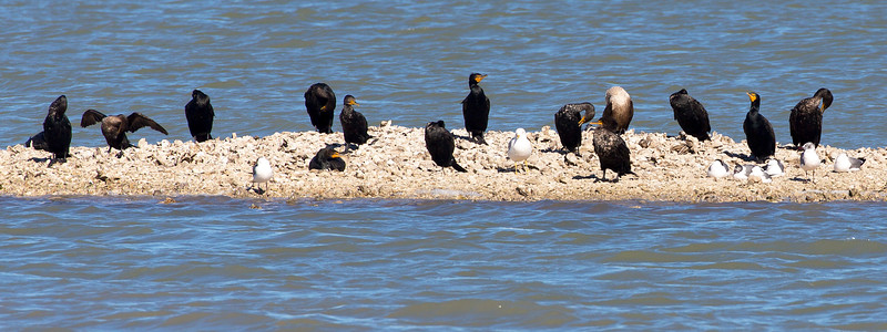 Cormorants share their island with Ring-Billed Gulls and Laughing Gulls.