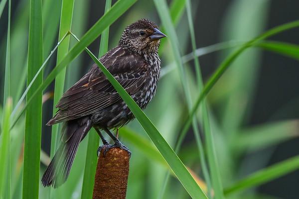 8-2-17 Red-winged Blackbird