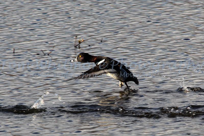 Henricus Duck