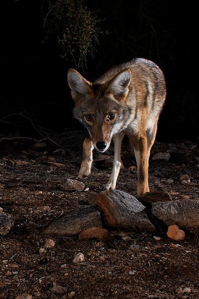 coyote412.jpg