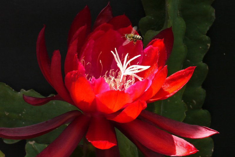 20121120_1034_5148 bee and epiphyllum 昙花
