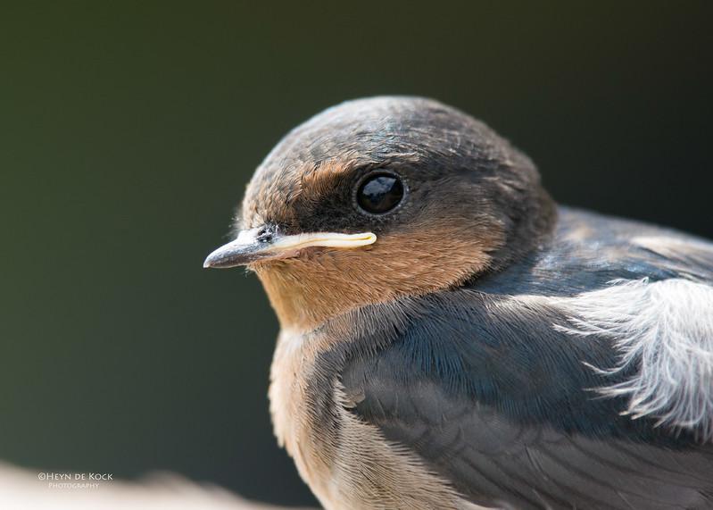 Welcome Swallow, Lamington NP, QLD, Dec 2015-1.jpg