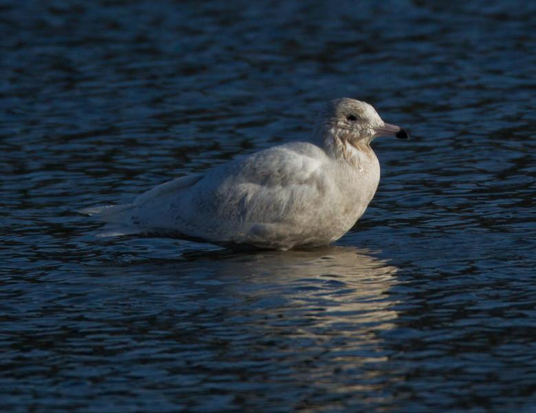 Glaucous Gull San Luis Rey Oceanside  2013 12 21-5.CR2