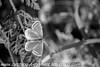 Brown Argus Aricia agestis (5)