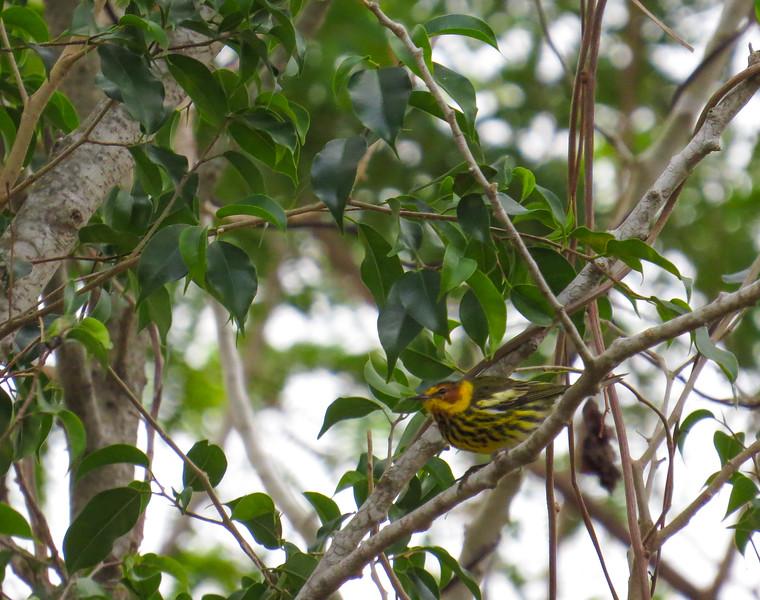 A Cape May Warbler wintering in Ciego de Avila.