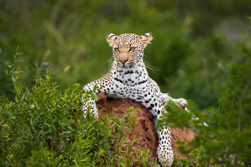 Leopard Kruger National Park