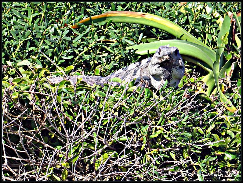 Iguana Stare Back at You!!!  Isla Mujeres, Mexico