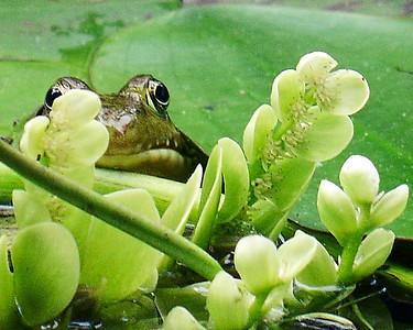 Pete's Frog