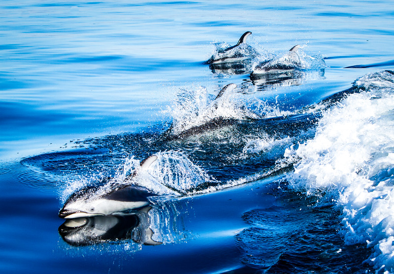 Dolphins Playing in the Blue
