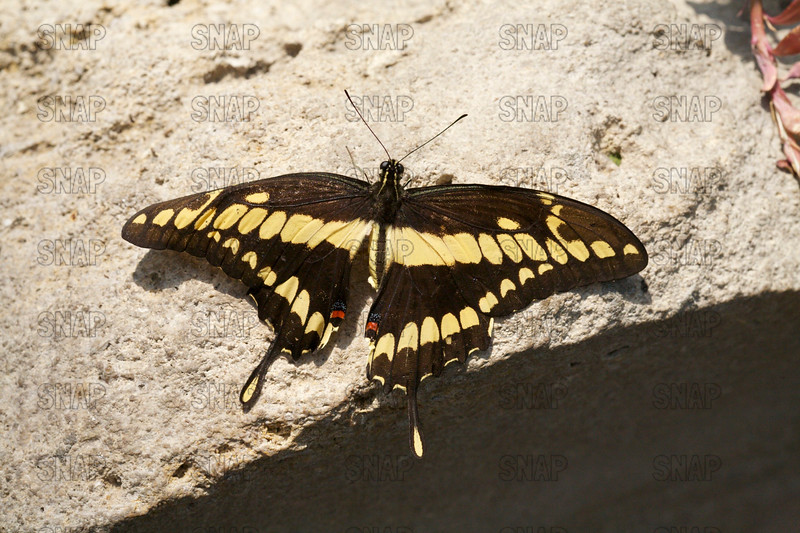 Giant Swallowtail Butterflies (Papilio cresphontes).