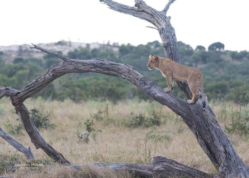 African Lion, Savuti, Chobe NP, Botswana, May 2017-36.jpg